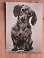 """Hund123 : Dackel - """"Waldi"""" - DEFOT Foto  - Unbeschrieben - Gut Erhalten - Hunde"""