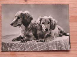 """Hund125 : Dackel - """"Waldi Und Poldi!"""" - DEFOT Foto  - Unbeschrieben - Gut Erhalten - Hunde"""