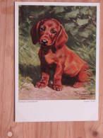 Hund148 : Junger Dackel V. Hermann Gemeinhardt - Wiechmann -Bildkarte Nr. 942 - Unbeschrieben - Sehr Gut Erhalten - Hunde