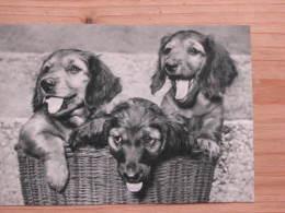 Hund163 : Drei Dackel Ein Trio Im Korb - Schw./w. -. Adolf Korsch -Verlag München  -. Unbeschrieben - Sauber Erhalten - Hunde