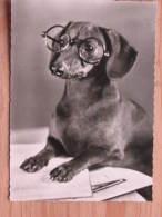 Hund175 : Dackel Der Professor Mit Brille - Echte Photographie - Unbeschrieben - Sauber Erhalten - Hunde