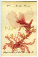 Algue Véritable Collée Souvenir De Belle-Ile En Mer  Morbihan 56 - Fleurs, Plantes & Arbres