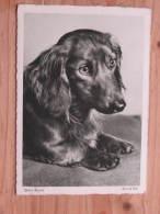 """Hund181 : Dackel """"Unser Menne""""  - Heinrich Höhl - Kunstverlag Bischof Und Klein - Unbeschrieben - Sauber Erhalten - Hunde"""