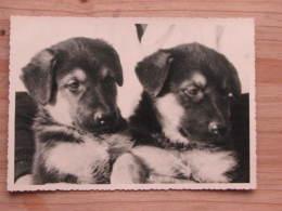 Hund184 : Zwei Junge Schäfer-Hunde - Aufn. Und Verlag Bruno Schroeter Berlin-Lichterfelde  - Unbeschrieben - Sauber - Hunde
