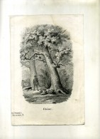 - CHÊNE . LITHO DU XIXe S DECOUPEE . - F. Trees & Shrub