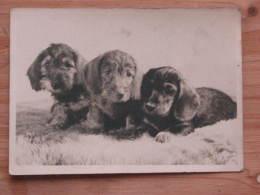 Hund202 : Drei Kleine Dackel - Phot Dr. E. Huth Mit Voigtländer Ffm-Eschersheim - Unbeschrieben - Gut Erhalten - Hunde
