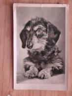 Hund216 : Dackel - Verlag Paul Pittius, Berlin - 1956 Versandt - Noch Sammelwürdig - Hunde