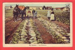 EN BEAUCE – Les Betteraves – Semble Située à Pithiviers (45, Loiret) - Cultivation