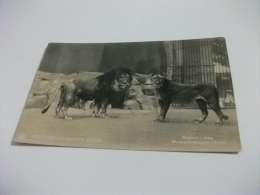 LEONE LION  ZOOLOGISCHER GARTEN BERLIN - Leoni
