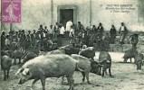 20B Scènes Corses Bénédiction Des Cochons à ZILIA (Après) - France