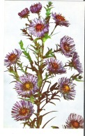 Glass Flower Aster Novae-Angliae Known As The New England Model 360 Ware Collection Of Glass Models Of Plants - Articles Of Virtu