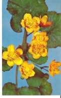 Glass Flower Caltha Palustris Linn. Marsh Marigold Or Cowslip Model 475 Ware Collection Of Glass Models Of Plants - Articles Of Virtu