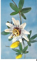 Glass Flower Passiflora Caerulea Linn. Common Passion-Flower Model 775 Ware Collection Of Glass Models Of Plants - Articles Of Virtu