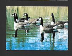 ANIMAUX - ANIMALS - BERNACHES DU CANADA - CANADA GEESE - KANADA GÄNSE - BRANTA CANADENSIS - PAR PHOTO DECOR - Oiseaux
