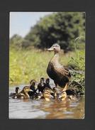 ANIMAUX - ANIMALS - MALLARDS - CANARDS SAUVAGES (COLVERTS) STOCKENTEN - ANS PLATYRRHYNCHA L. - PAR PHOTO DECOR - Oiseaux