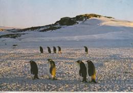 TAFF - Terre Adélie - Pôle Sud - Empereurs Allant à  La Rockery - Collection Privée, Tirage Limité - TAAF : Terres Australes Antarctiques Françaises