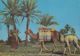 Carte Postale CP Tunisie Monastir - CHAMEAU / DROMADAIRE & Son Petit + Chamelier - CAMEL Postcard - KAMEL - 25 - Animaux & Faune