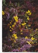 BRETAGNE, Fleurs Des Landes, Ed. Jos 1980 Environ - Fleurs