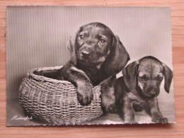 "Hund501 : Dackel - ""Mutterglück"" - DEFOT Foto  - Unbeschrieben - Gut Erhalten - Hunde"
