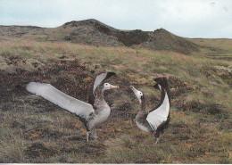 TAFF - Grand Albatros De L'Ile Amsterdam (Diomedea Amsterdamensis) - TAAF : Terres Australes Antarctiques Françaises