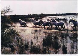 CAMARGUE CHEVAUX DANS LES MARAIS - Horses