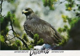AQUILA  ( Acquila Chrysaetos) - Oiseaux