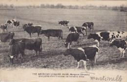 THE AMERICAN LEGHORM FARM MARGAUX ( Gironde ) Une Partie Du Troupeaux ( Vaches ) Peu Courante - Margaux