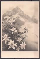 Fiori - Stelle Alpine - Edelweiss - Guaphalium Leontepodium - Blumen