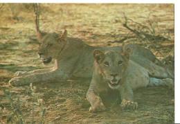 """Kenia, Coppia Di Leonesse Nella Savana Africana (Lions), Thematic Stamps """"Farfalle"""", """"Papillon"""" - Lions"""