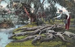 California - Feeding Time At The California Alligator Farm - Los Angeles - 2 SCANS - Los Angeles