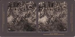Stereo-Foto (photo Stéréo) 9 Botanik -Stachelbeerstaude (Ribes Grossularia - Photographica