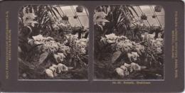 Stereo-Foto (photo Stéréo) 44 Botanik -Orchideen- - Photographica