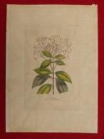 GRAVURE ANCIENNE FLEUR CANNELIER 22.5 X 16 - Prints & Engravings