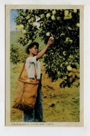 Picking Grapefruit, Trinidad, B.W.I. - World