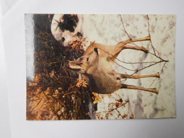 Chevreuil , Chasse - Animales