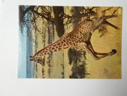 Girafe , Afrique - Girafes