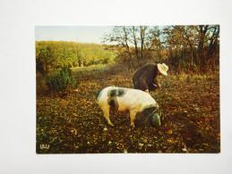 Cochon Truffier , Truffe , Champignon , Périgord - Pigs