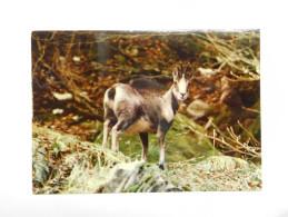 Chamois , Alpes - Animals