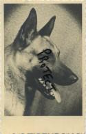 Duitse Herder - Berger Allemand - German Shepherd - Deutsch Schäfer - Chiens