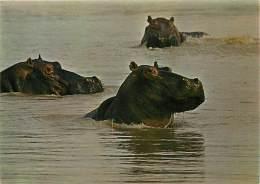 B16-1879 : HIPPOPOTAMES - Hippopotames