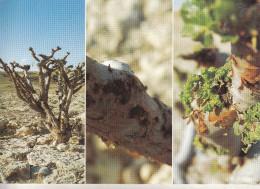 Sultana D'Oman - Frankincense In Dhofar - Oman