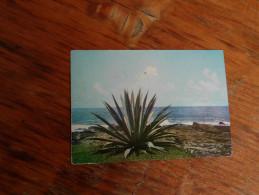 Seashore Cactus Tangalle Sri Lanka - Sukkulenten