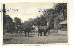 Parc Des Watussis (Congo Belge). Jardin Zoologique Anvers. Dierentuin. PHoto ZOO NELS - Animaux & Faune