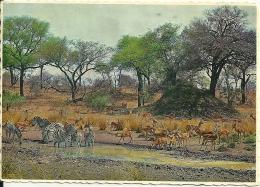South Africa / Zèbre Zebra Impala - Animaux & Faune