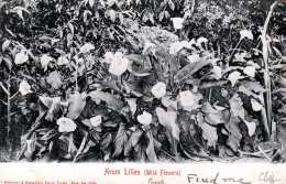 CAPE OF GOOD HOPE 1905 - Wild Flowers 2 (Arum Lilies), Karte Gel.mit 1/2 D Marke - Südafrika