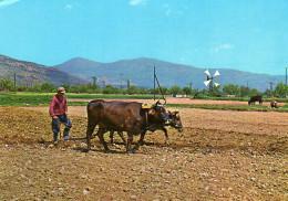 Plowing The Field, Mallia,Crete - Greece