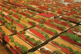 Cutflower Section United Flower Markets- Der Verenigde Bloemenveilingen - Alsmeer