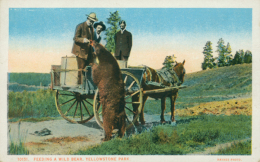 US YELLOWSTONE / Feeding A Bear, Yellowstone Park / CARTE COULEUR - Yellowstone