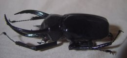 Magnet : Chalcosoma Chiron - Figurines
