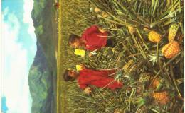 Amérique - Etats-Unis - Hawaï - Field Ripe Pineapples - Récolte D'ananas - Etats-Unis